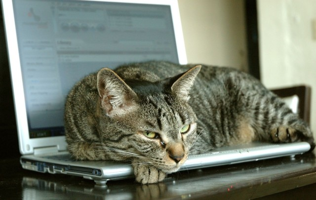 Working remotely cat sitting on laptop keyboard