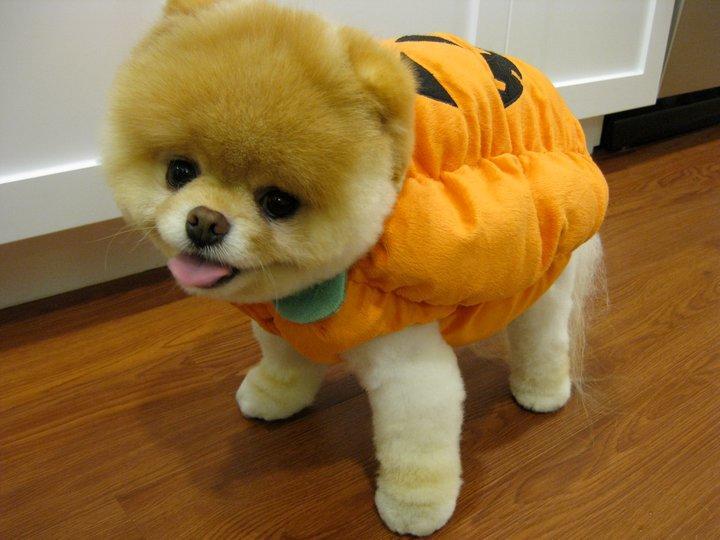 Boo the adorable pumpkin-dog!