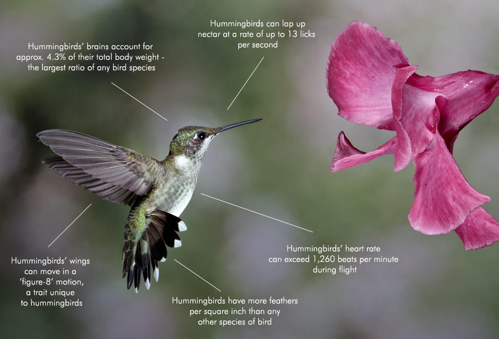 Google Hummingbird Fact Diagram