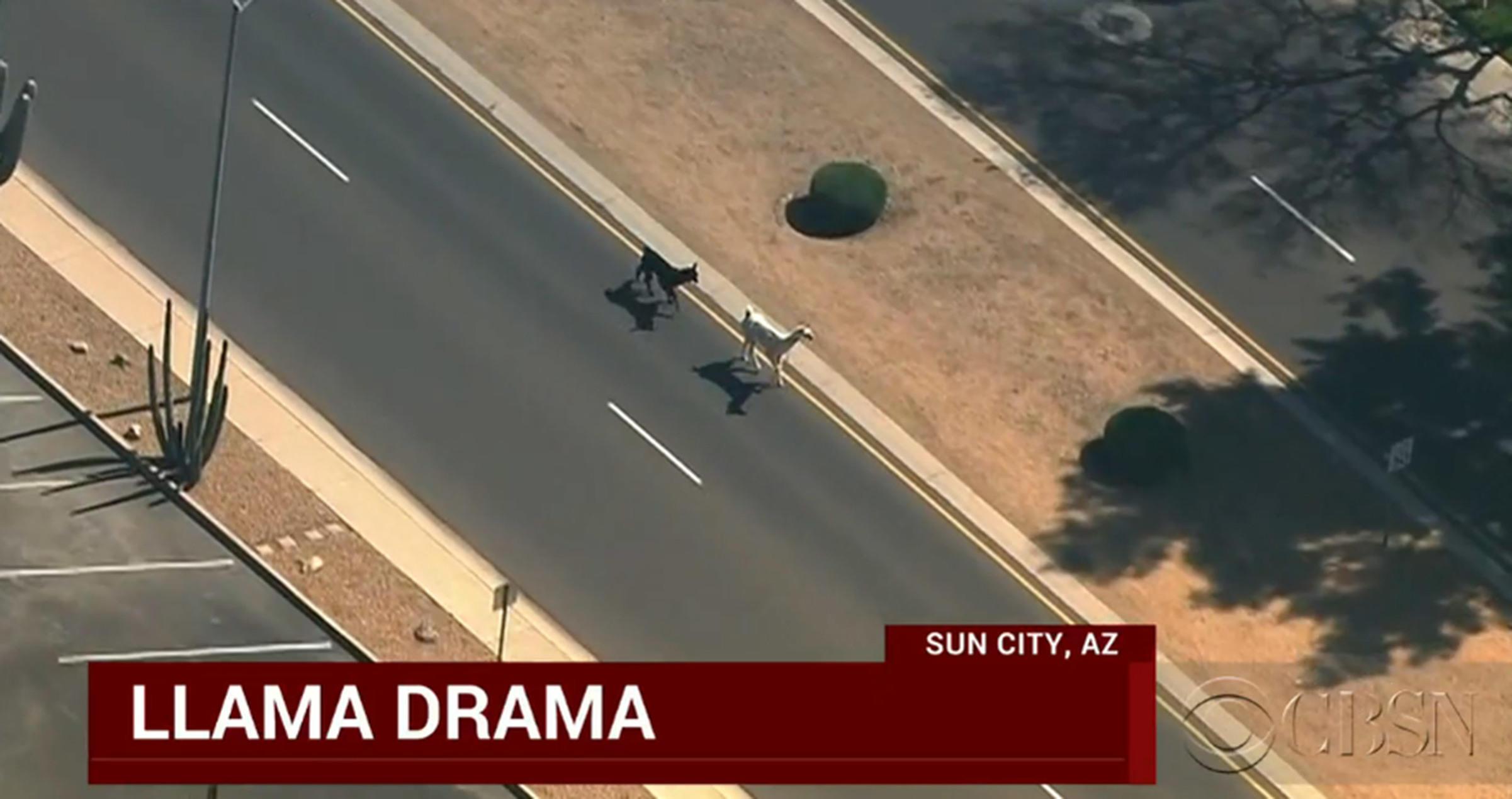 Llama chase Arizona