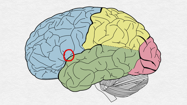 Psychology of Facebook ads location of nucleus accumbens in human brain