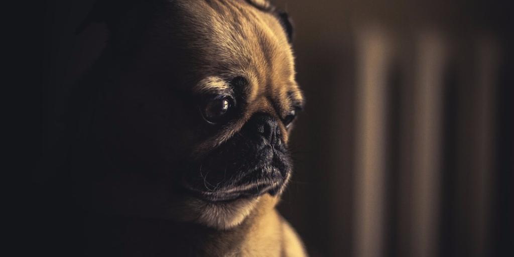Working remotely sad dog
